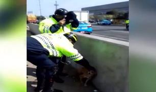 Surco: serenos rescatan a perrita herida en la Panamericana Sur
