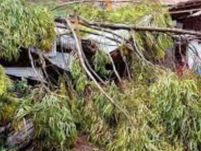 Áncash: árbol de eucalipto cae y destruye dos viviendas