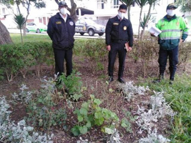 Encuentran tres plantones de marihuana escondidos en un parque de Surco