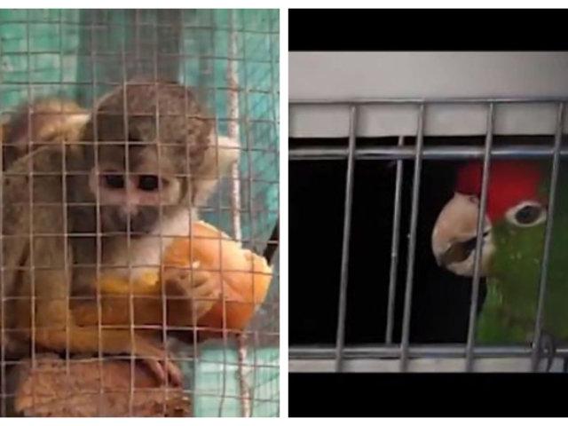 Carabayllo: sujeto tenía animales silvestres en cautiverio en restaurante