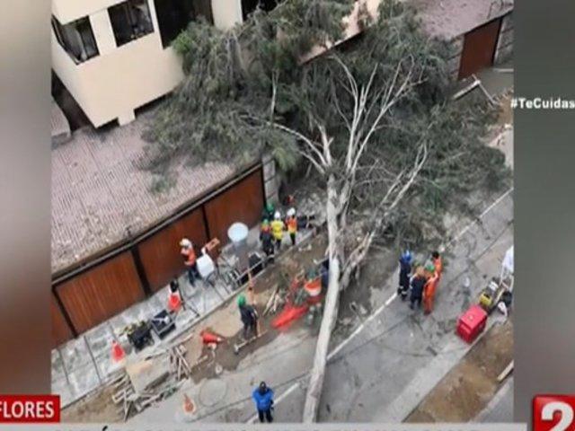 Miraflores: Cae árbol de eucalipto en una calle y deja una persona herida