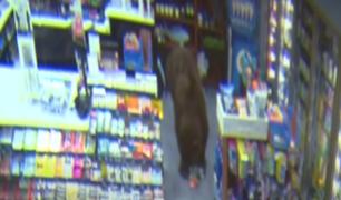 EE.UU: osos pardos fueron captados ingresando a tiendas de grifos