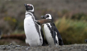 Brasil: pingüino es hallado muerto tras ingerir mascarilla