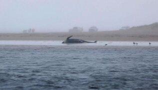 Tragedia en Australia: 380 ballenas varadas fallecieron en una bahía