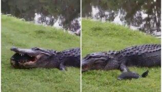 Un caimán intenta comerse a una tortuga y se vuelve víctima de memes tras fracasar