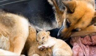 ¡Asombroso! Pastora alemana cría a dos cachorros de león