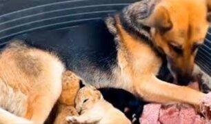 Rusia: perrita adoptó a dos cachorros de león tras el rechazo de su madre