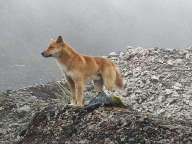 Hallan ejemplares salvajes del perro cantor de Nueva Guinea que se creía ya estaban extintos