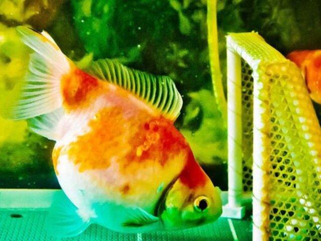 China: conozca a los peces futbolistas que marcan golazos