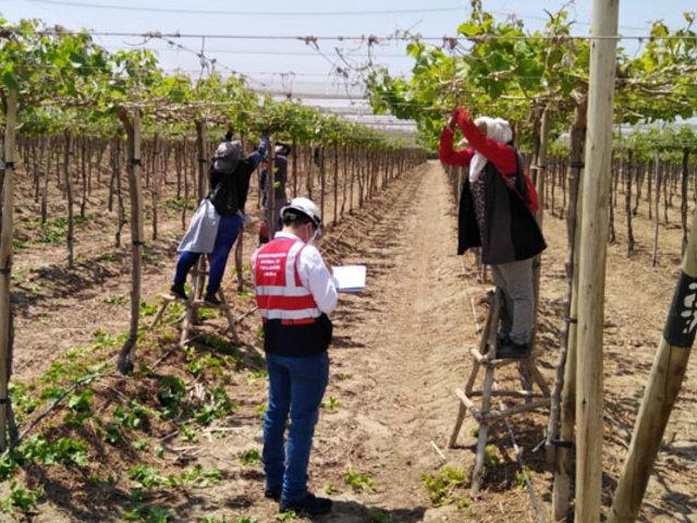 Ica: Sunafil supervisa cumplimiento de normas laborales en compañías agroindustriales