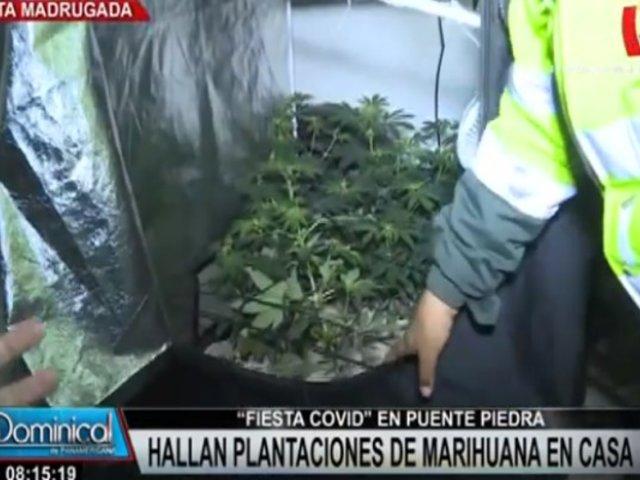 Puente Piedra: agentes de seguridad intervino fiesta COVID y halló plantaciones de marihuana