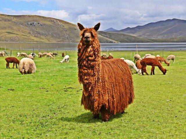 Reino Unido: suspenden partido de fútbol por alpaca que invadió cancha