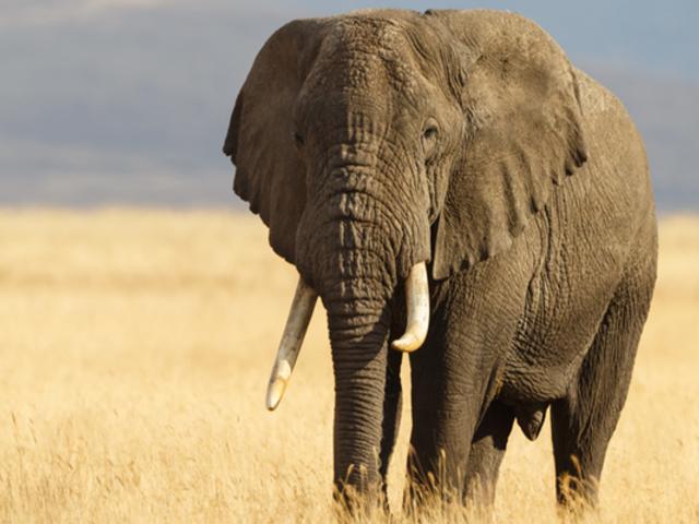 Hallan al causante de la muerte de más de 300 elefantes en Botsuana