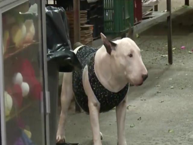 Bull terrier impidió robo de florería y salvó a 15 personas de ser víctimas de la delincuencia