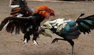 Tumbes: intervienen coliseo de gallos que funcionaba también como bar clandestino