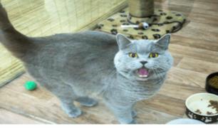 Mujer afirma que su gato cumple deseos y lo vende por 130 mil dólares