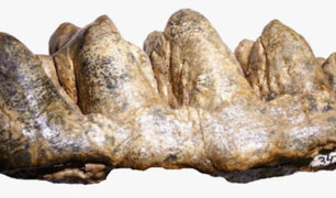 Hallan fósiles de mastodonte de 9 5 millones de años que vivió en la selva del Perú