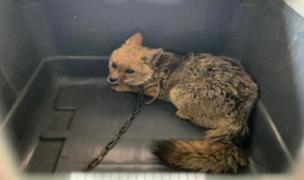 Huánuco: rescatan zorro andino que estaba encadenado