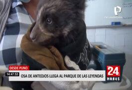 Desde Puno, oso de anteojos llega al Parque de las Leyendas