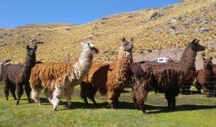 Nanoanticuerpo creado con el existente en llamas y camellos podría ayudar a combatir el coronavirus