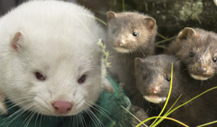 Dan por extinta mutación de COVID-19 en visones en Dinamarca