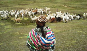 Fuerte sequía está matando a cientos de camélidos en las alturas de Huancavelica