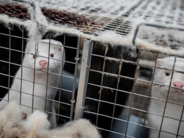 Francia: sacrificarán mil visones tras detectar mutación de covid-19 en granja