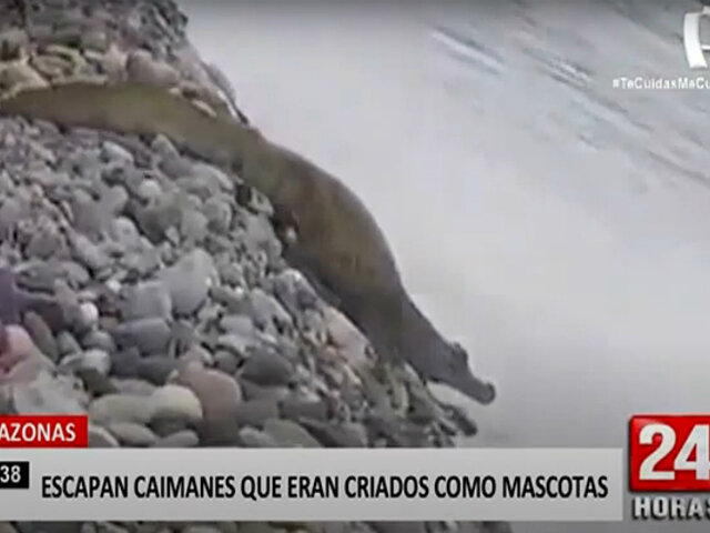 ¡Insólito! dos caimanes criados como mascotas escapan y generan pavor