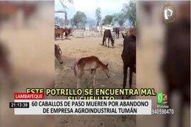 Lambayeque: Caballos de paso fallecen por abandono de empresa agroindustrial