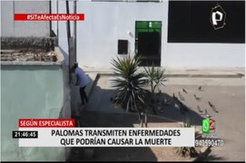 Pueblo Libre: Denuncian que vecina alimenta a palomas pese a que está prohibido en el distrito
