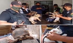 Surco: hallan animales desnutridos en intervención de guarida de presuntos asaltantes