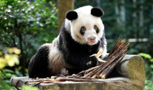 China: murió la osa panda más longeva del mundo en cautiverio