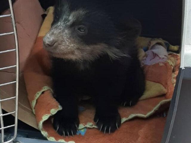 Puno: rescatan cría de oso de anteojos que estaba en cautiverio dentro de una vivienda
