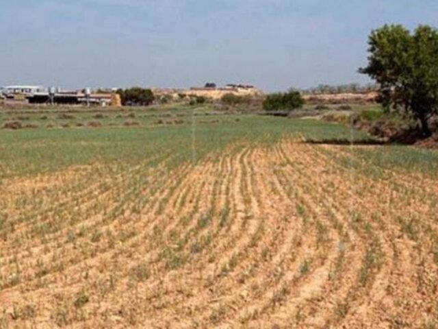 Sembríos de maíz y frejol  se pierden por fuerte sequía en Huancavelica