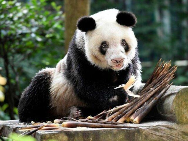 China: murió la osa panda más longeva del mundo en cautiverio