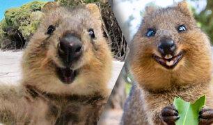 Conoce al quokka, el único animal que sonrie