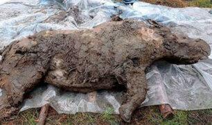 Siberia: hallan en perfecto estado a rinoceronte lanudo congelado hace 20 000 años