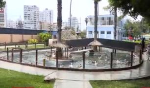 Barranco: vecinos denuncian que patos y gansos del parque de La Familia están abandonados