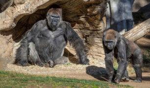 EE.UU: Dos gorilas del zoológico de San Diego dan positivo al covid-19