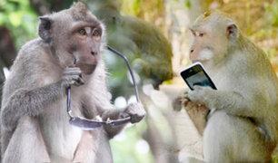 Estudio revela que monos ladrones de Bali aprendieron a identificar artículos de valor