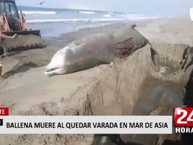 Cañete: ballena picuda falleció tras varar en mar de Asia