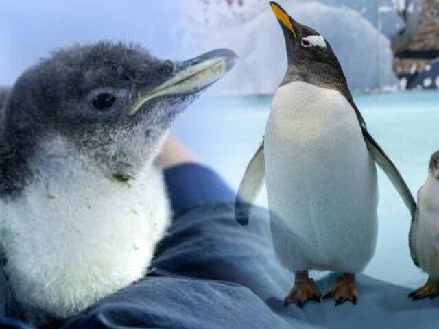 Conozca al primer pingüino antártico nacido en cautiverio en México