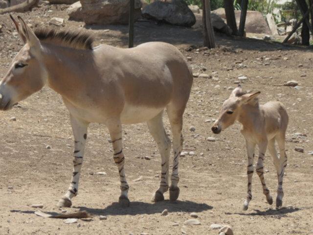 Chile: nacen dos burros salvajes africanos en peligro de extinción