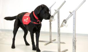 Cada vez más países usan perros para detectar a personas con Covid-19