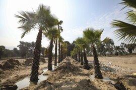 Se sembrarán 6 mil árboles en los distritos de Lima Norte como parte de obras del Metropolitano
