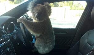 Australia: Koala posa al volante tras causar un choque múltiple