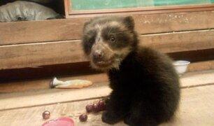 Pobladora rescata a cría de oso andino tras hallarlo en una carretera de Puno