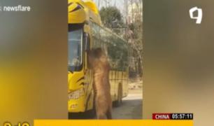 China: oso 'baila' para pedir comida a ocupantes de bus