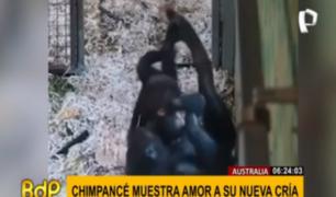 Australia: mamá chimpancé conmueve al protagonizar tiernas escenas con su cría