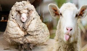 Encuentran una oveja con 35 kilos de lana en bosque de Australia